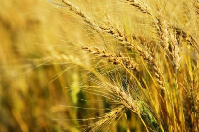 Agronegocios: disminución de las reservas mundiales de cereales